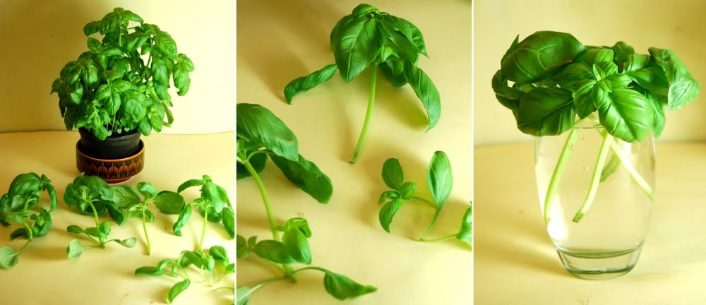 Regrow-basil-from-basil-cuttings