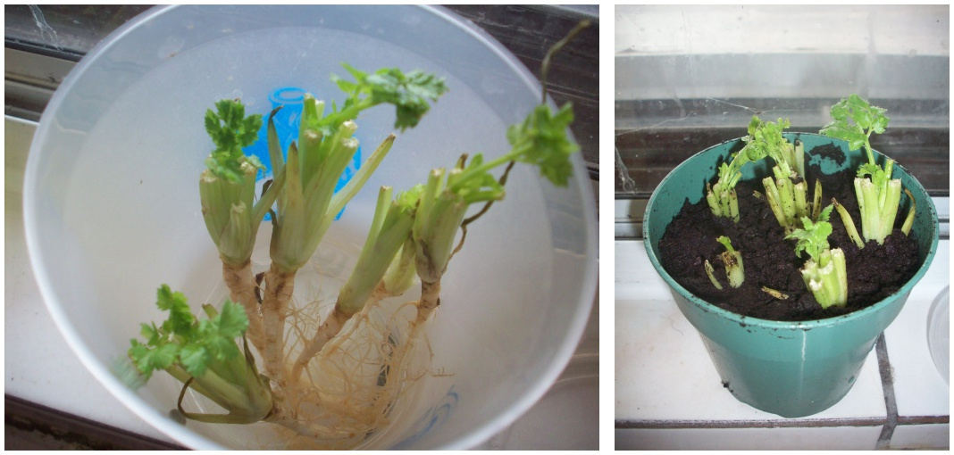 Vegetables Buy Once And Regrow Forever-Cilantro
