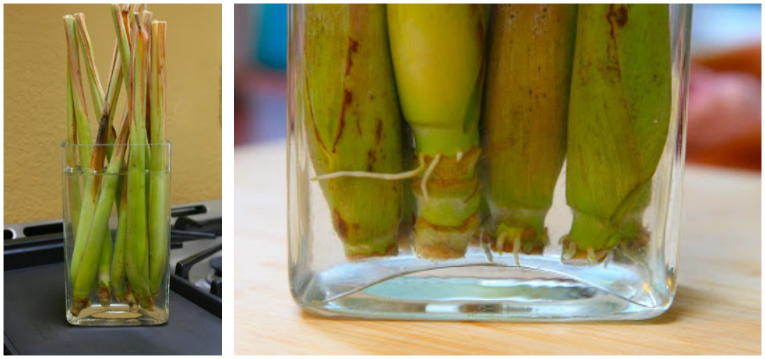 Vegetables Buy Once And Regrow Forever-LemonGrass