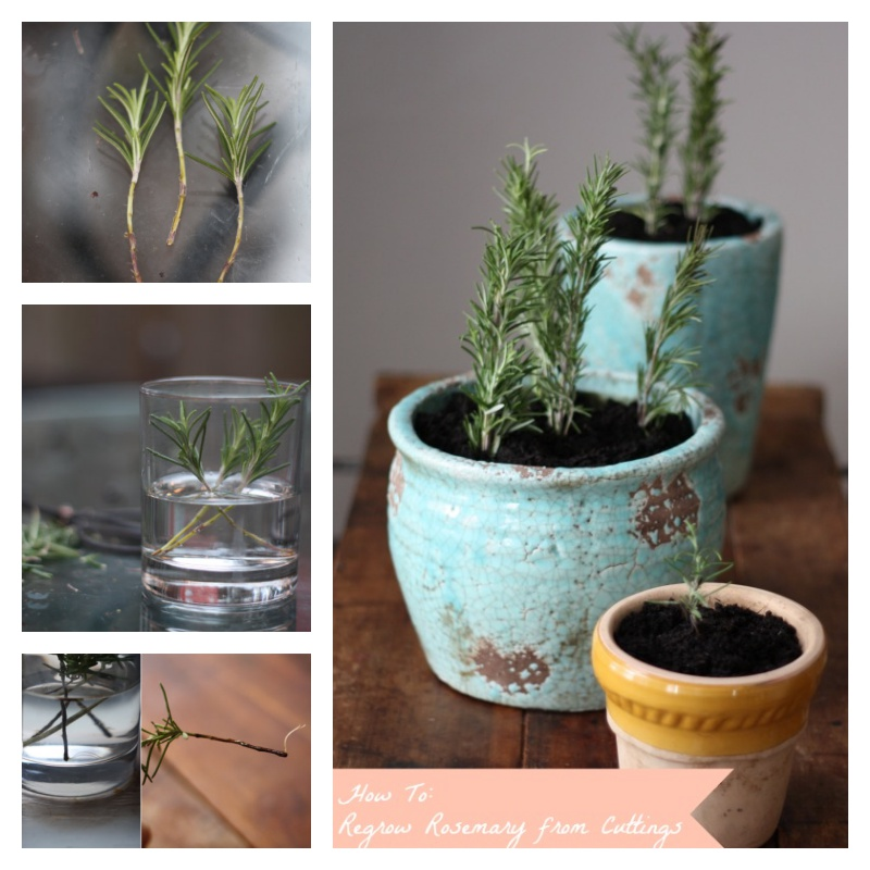 Vegetables Buy Once And Regrow Forever-Rosemary
