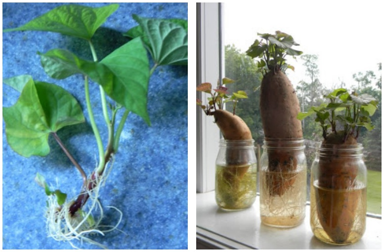 Vegetables Buy Once And Regrow Forever-Sweet Potato