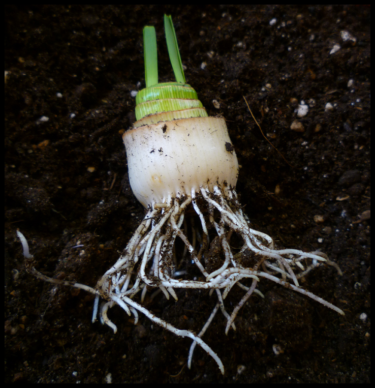 Vegetables Buy Once And Regrow Forever-leek