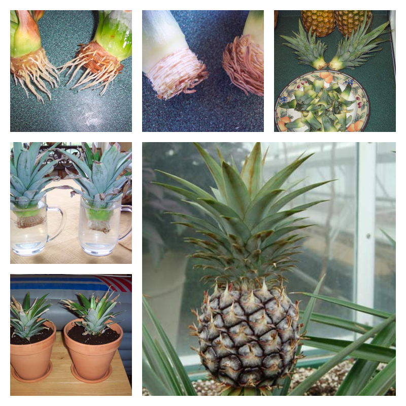 Vegetables Buy Once And Regrow Forever-Pineapple