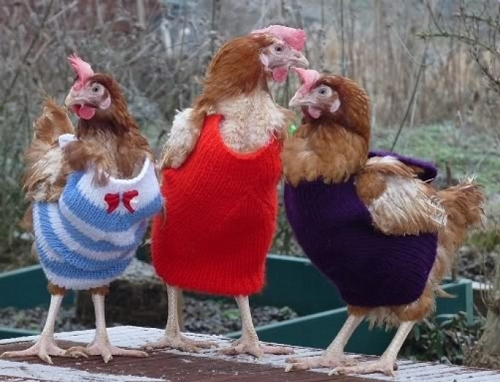 Chickens Wearing Sweaters 1