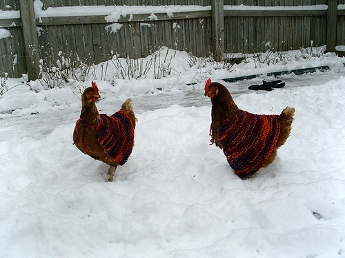 Chickens Wearing Sweaters 2