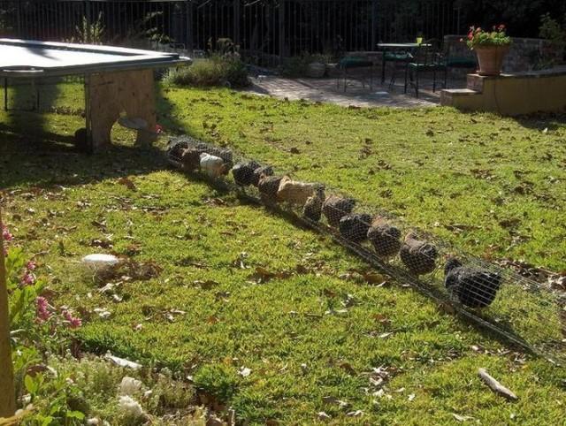 How to build a diy backyard chicken tunnel for Garden design reddit