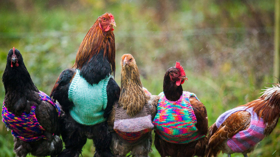 How To Knit Chicken Sweaters 1