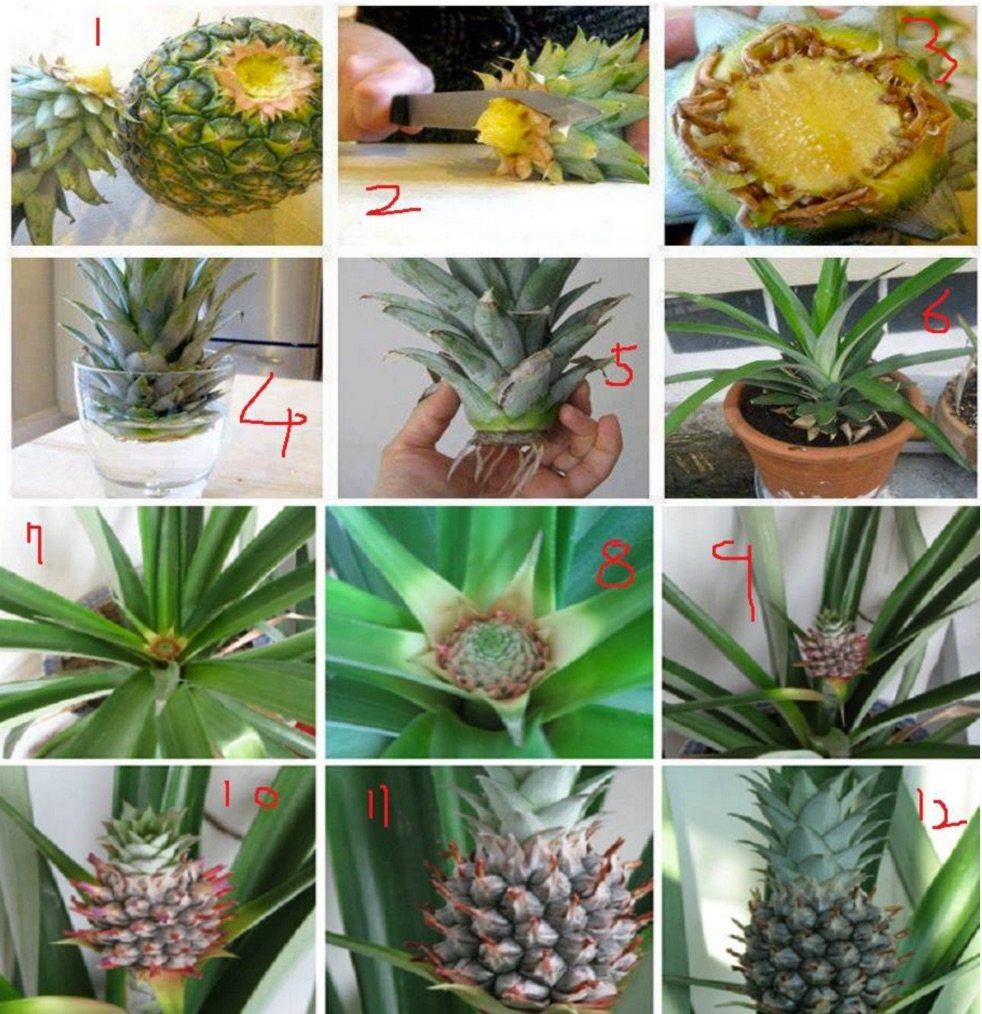 How to regrow pineapple in a plant pot for How to plant a pineapple top in a pot