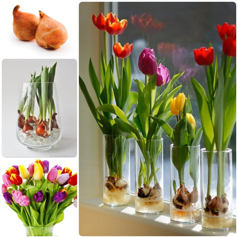 how to grow tulip bulbs in a vase