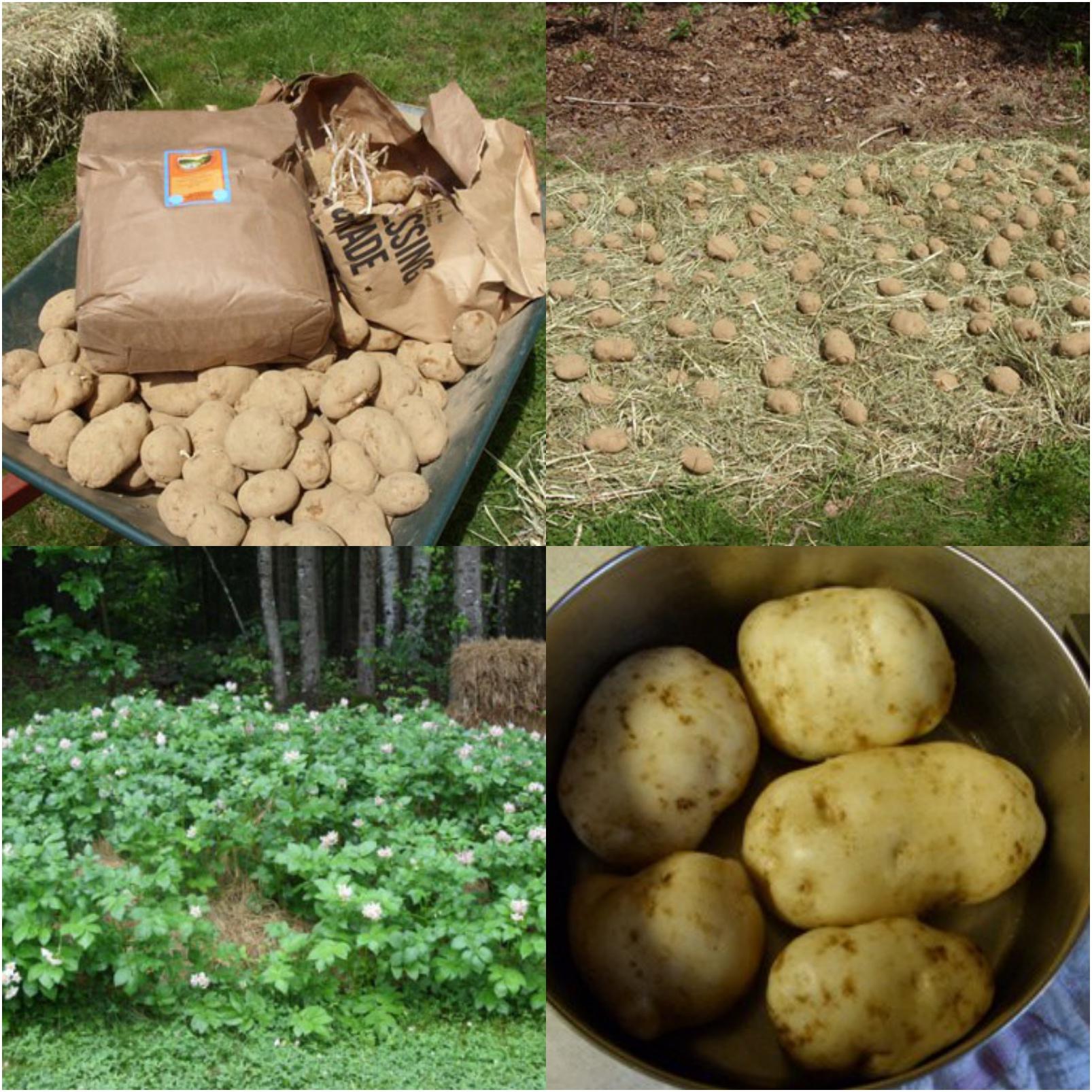 How To Grow Dirt-Free Potatoes