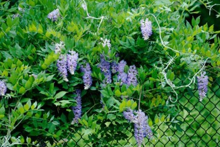 Using-A-Fast-Growing-Plant-To-Cover-Fence